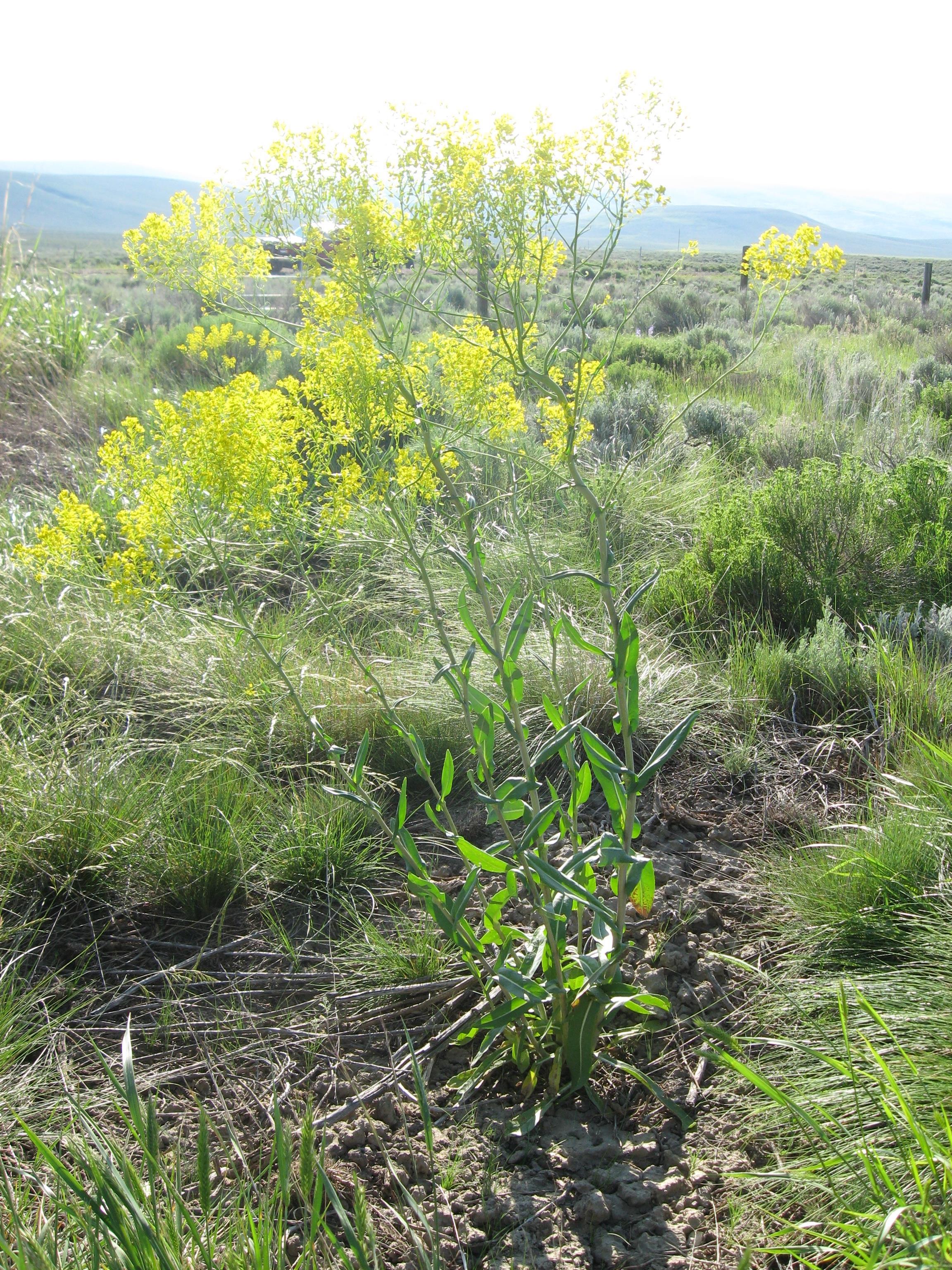 Noxious Weeds List Ravalli County Mt Official Website
