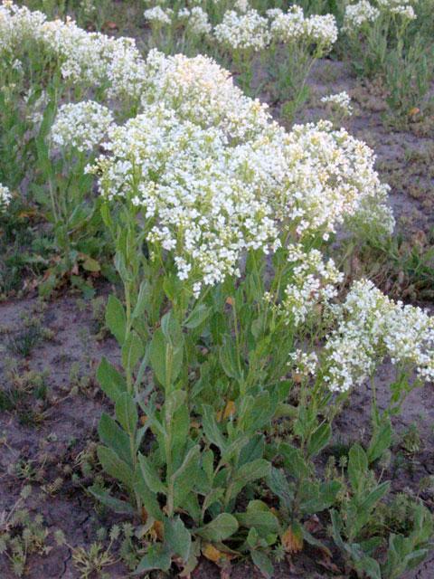 Noxious Weeds List | Ravalli County, MT - Official Website