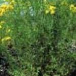 Saint Johnswort